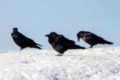 Common Raven 14
