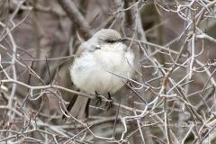 Northern Mockingbird 1