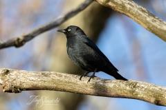 Rusty Blackbird 2