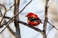 Scarlet Tanager 5