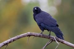 American Crow 1