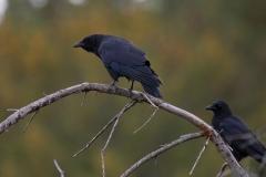 American Crow 2