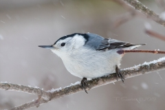 White Breasted Nuthatch 4