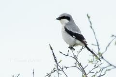 Loggerhead Shrike 4