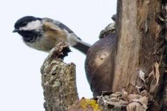Black-Capped Chickadee 1