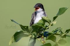 Eastern Kingbird 4