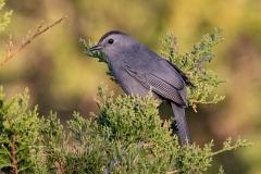 Grey Catbird 5