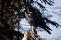 Common Raven 8