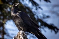 Common Raven 20