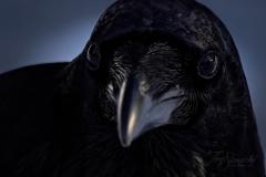 Common Raven 19