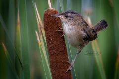 Marsh Wren 2