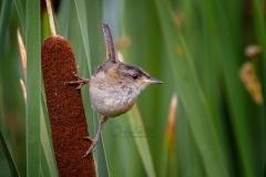 Marsh Wren 3
