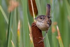 Marsh Wren 4