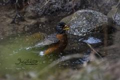 Bathing American Robin 1