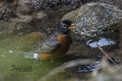 Bathing American Robin 3