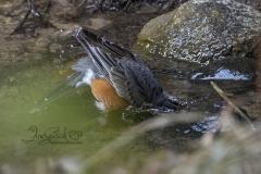 Bathing American Robin 2