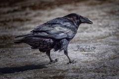 Common Raven 16