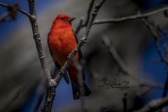 Scarlet Tanager 9