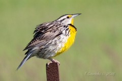 Eastern Meadowlark 2