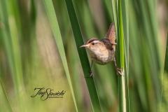 Marsh Wren 1