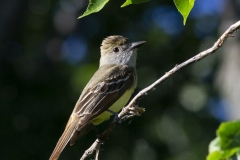 Great Crested Flycatcher 3