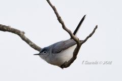 Blue Grey Gnatcatcher 1