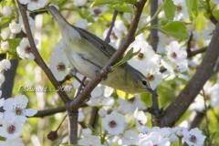 Tennessee Warbler 2