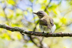 Red-Eyed Vireo 1