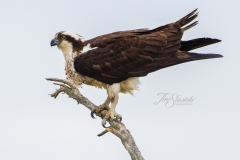 Osprey 10