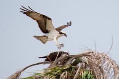 Osprey 14