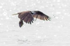 Osprey 22
