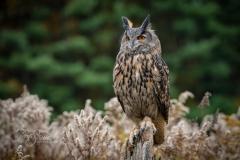 Eurasian Hawk Owl 3