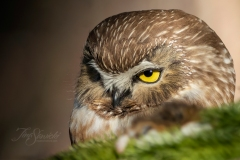 Saw Whet Owl 3