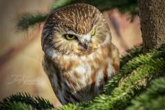 Saw Whet Owl 4