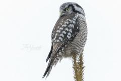 Northern Hawk Owl 6