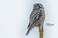 Northern Hawk Owl 8