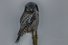 Northern Hawk Owl 9