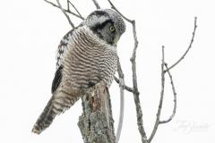 Northern Hawk Owl 10