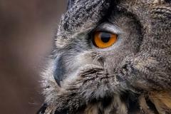 Eurasian Hawk Owl 1