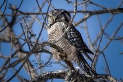Northern Hawk Owl 13