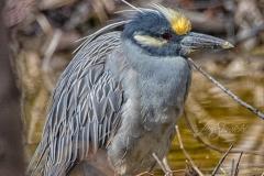 Yellow Crowned Night Heron 3 - April 2020 Peterborough