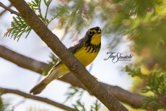 Canada Warbler  - May 2020 Menzel