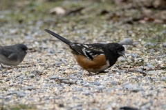 Spotted Towhee 1 - Dec 2019 Prince Edward Pt.