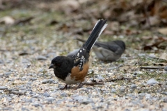 Spotted Towhee 2 - Dec 2019 Prince Edward Pt.