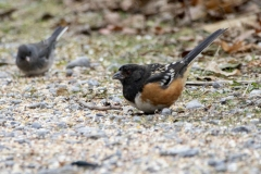 Spotted Towhee 3 - Dec 2019 Prince Edward Pt.