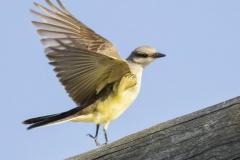 Western Kingbird 4 - Sept 2018 Prince Edward Pt.