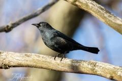Rusty Blackbird 2 March 2020 Prince Edward Point