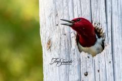 Red-Headed WoodPecker 2 June 2020 Marmora