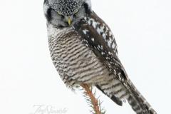 Hawk Owl 2 - Jan 2020 Schomberg