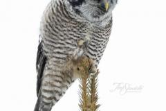 Hawk Owl - Jan 2020 Schomberg